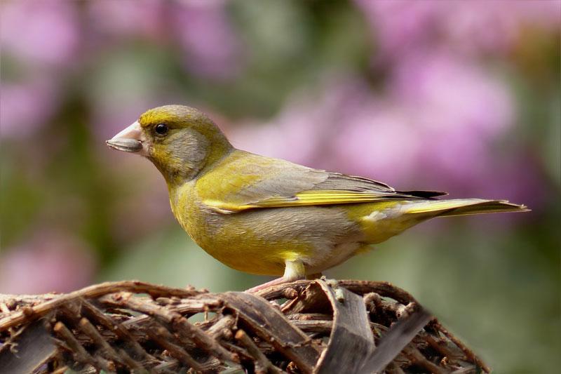 Vogel Gruenfinck